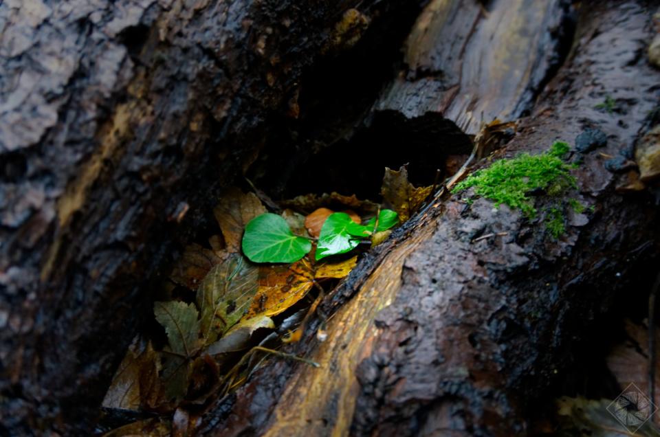 Grüne Blätter im Holz – Im Wald bei Lauf (Baden)