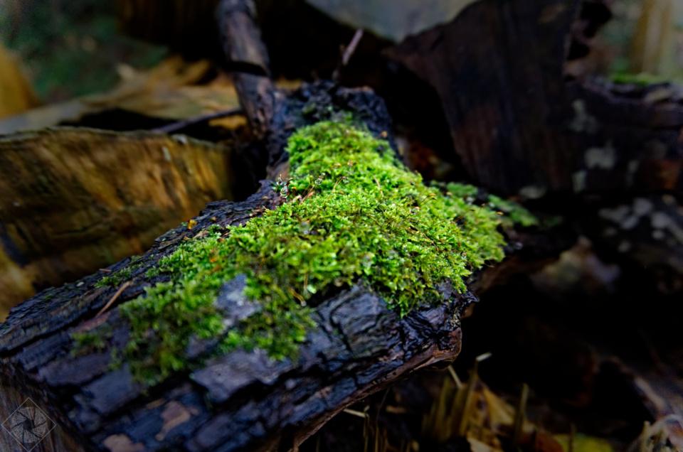Moos mit Tautropfen – Im Wald bei Lauf (Baden)