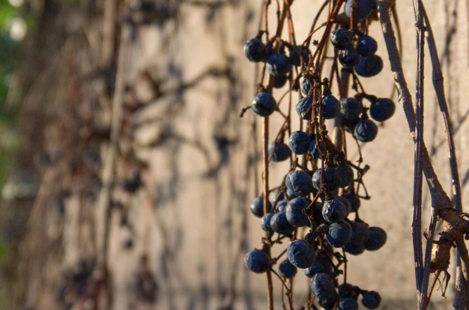 Weintrauben im Sonnenlicht an einer Mauer – Fondation Beyeler (Riehen, CH)