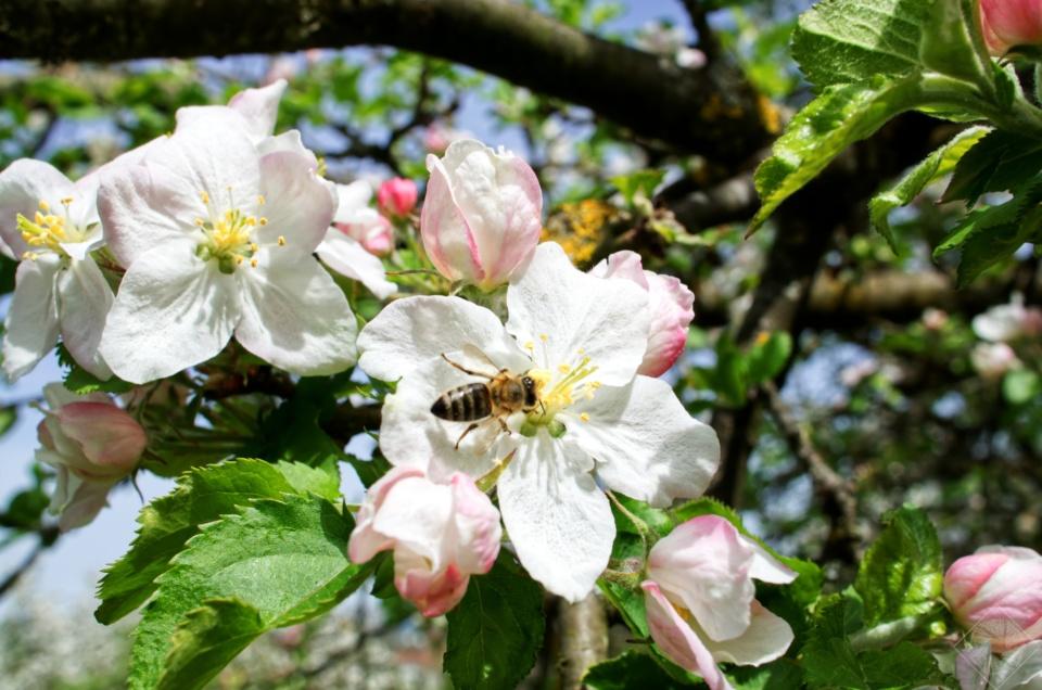 Biene sammelt Futter